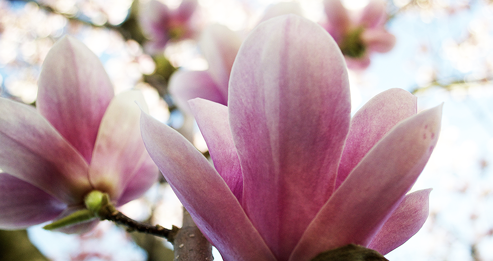Japanese Magnolia flower.